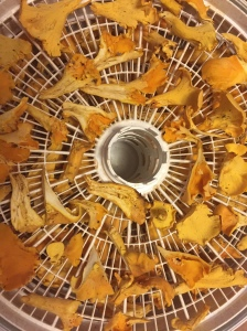 Chanterelles In The Dehydrator